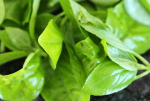 Salat_mit_Wassermelone_und_Feigenessig_Basilikum_fuer_Weight_Watchers